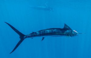 Sailfish with a teaser lure. (Photo: Anthony Grote)