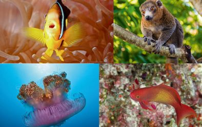 Clockwise from top left: This anemonefish looks like a singer; mongoose lemurs are easily approached with an offering of bananas; scalefin anthias have a purple spot on their pectoral fins; mesmerising crown jellyfish.