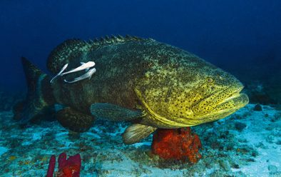A Goliath grouper with its retinue of remoras.