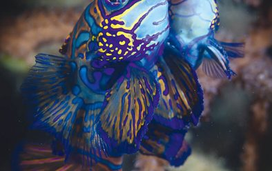 Watching mating mandarinfish is a popular after-dark pastime.