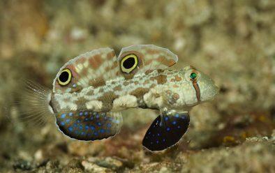 Crab-eye goby.