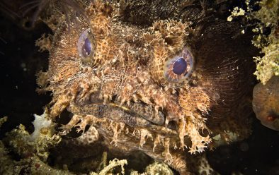 Among toadfish, this is considered a handsome specimen.