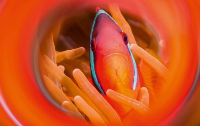 Cinnamon anemonefish in a swirl of its own colours.