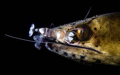 The beautiful relationship between snake-eel and cleaner shrimp.