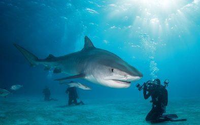 A tiger shark glides past Brandi's dive buddy.