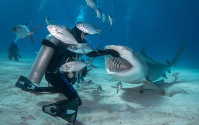 A tiger shark comes in for a fish.
