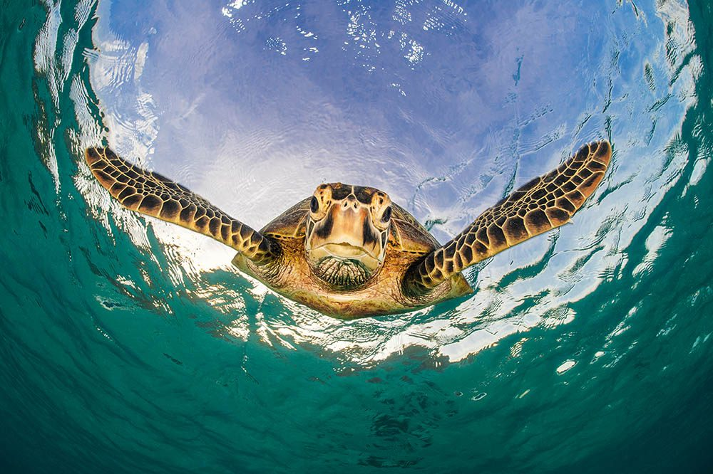 Snorkelling just off the beach brings encounters with friendly green turtles.