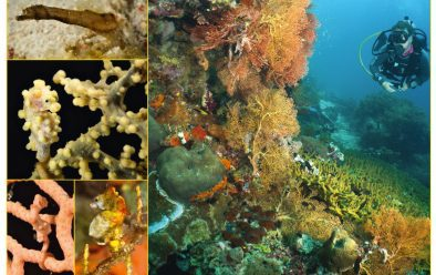 Clockwise from top left: Cockatoo waspfish; dwarf pipehorse; Bargibant's; Pontoh's; and Denise's pygmy seahorses; frogfish; juvenile sponge filefish.