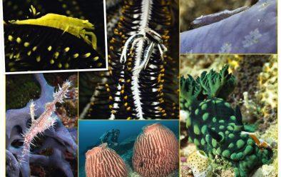 Clockwise from top left: Crinoid shrimp; crinoid squat lobster; seastar shrimp; Emperor shrimp on a crested Nembrotha nudibranch; barrel sponges; ornate ghost pipefish.