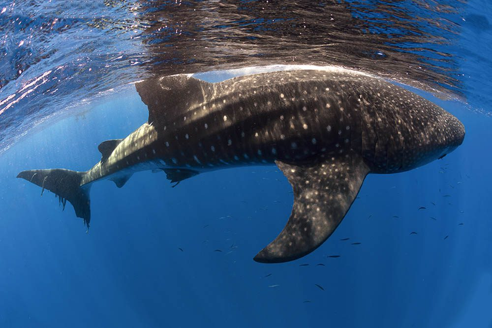 Whale sharks assemble in numbers at St Helena for five months in the Southern Hemisphere summer.