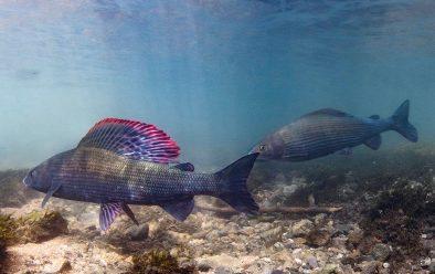 Jack Perks' favourite freshwater fish – the impressive grayling.
