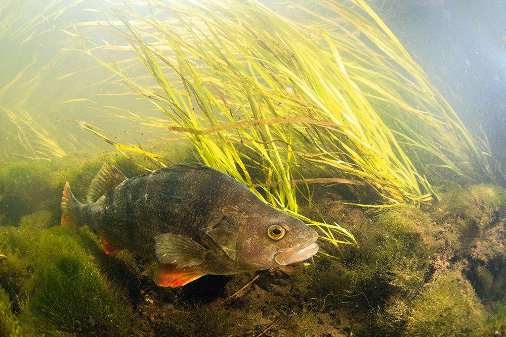 Perch in the River Trent.