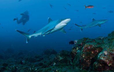 Silvertip sharks.
