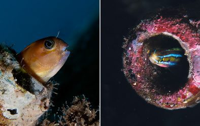 Goby in a bottle (left) and Blenny, also in a bottle.