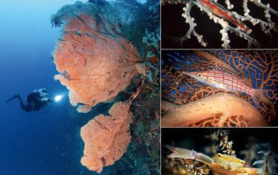 Clockwise from top left: Large gorgonians on Kasai Wall; coral goby; long-nosed hawkfish; coral crab.