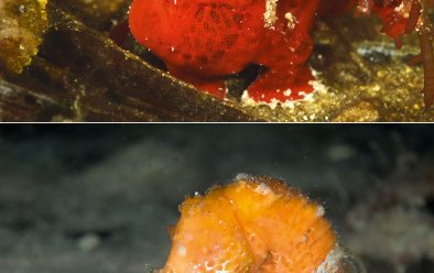From top: Frogfish; brightly coloured seahorse.