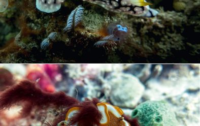 From top: Yellow-horned phyllidia (Phyllidia elegans); caramel nudibranch (Glossodoris rufomarginata).