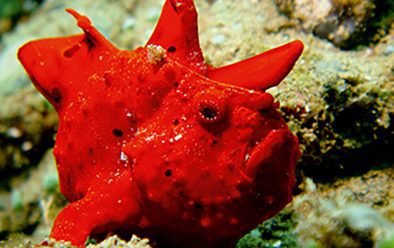 The red frogfish – the highlight of the dive for those who stayed on the wreck.
