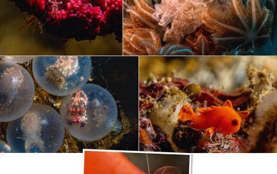 Above, clockwise from top left: Shrimp on soft coral the size of a broccoli floret; pygmy cuttlefish lit with a constant light source; juvenile frogfish; soft coral crab; flamboyant cuttlefish still in their egg-casings.