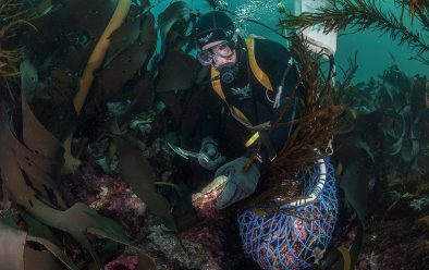 Commercial abalone diver Dean Lisson adds another abalone to his collection bag off the Actaeon Islands.