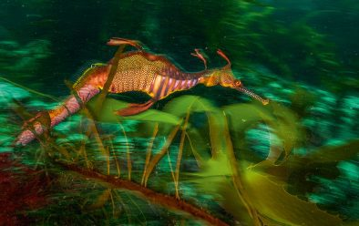 A male weedy seadragon photographed off the Tasman Peninsula carries eggs on the underside of its abdomen.