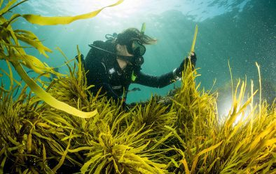 Marine ecologist Adriana Vergés inspects a patch of crayweed that her team transplanted off the coast of Sydney.