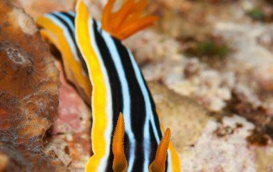 First encounter with a nudibranch – the common pyjama slug.