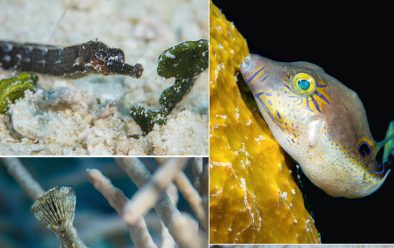 Clockwise from top: Squid on the night dive; seen on the first dive – pipehorse; sharpnose puffer; jawfish with eggs; filefish.
