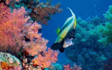 Bannerfish among the soft corals.