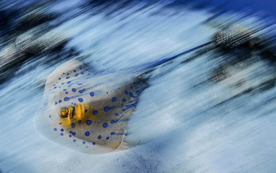4: Blue-spotted sting ray blur.