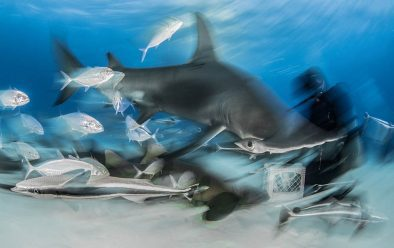 7: Hammerhead shark-feed blur.