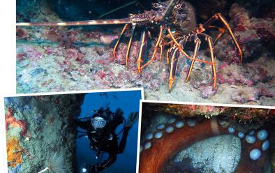 Clockwise from top: Lobster on the wall near Baia Infreschi; Chiacchio cavern wall; octopus hiding in its burrow.