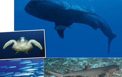 Above, clockwise from top:; A whale shark cruises along the wall; whitetip reef shark resting on the bottom; striped barracuda on the prowl; turtles are often seen on the reefs.
