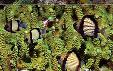Above, from top: The smaller residents – a group of dorid nudibranchs; small fish such as these cardinalfish take shelter in the branching corals; whip gobies can be found on the gorgonians and wire corals.