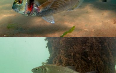 Top: Gilthead bream. Above: European bass.