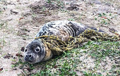 An entangled seal taken to the Cornish Seal Sanctuary.
