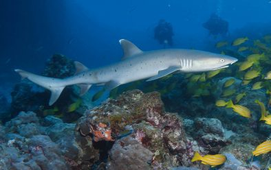 A small whitetip reef shark inspects the divers at Lighthouse Bommie.