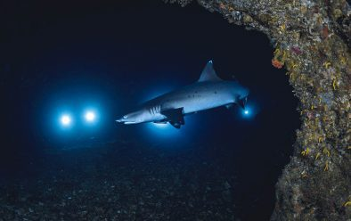 Whitetip reef sharks are resident at Gato and the cavern is a favourite spot to patrol.