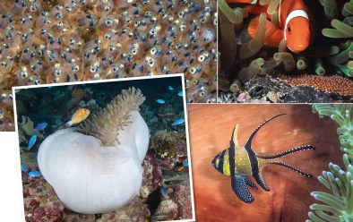 Clockwise, from top left: Developing eggs; an anemonefish caring for its eggs; banggai cardinalfish are among the other fish attracted to anemone life; some anemones ball up at the same time every day, or when threatened.