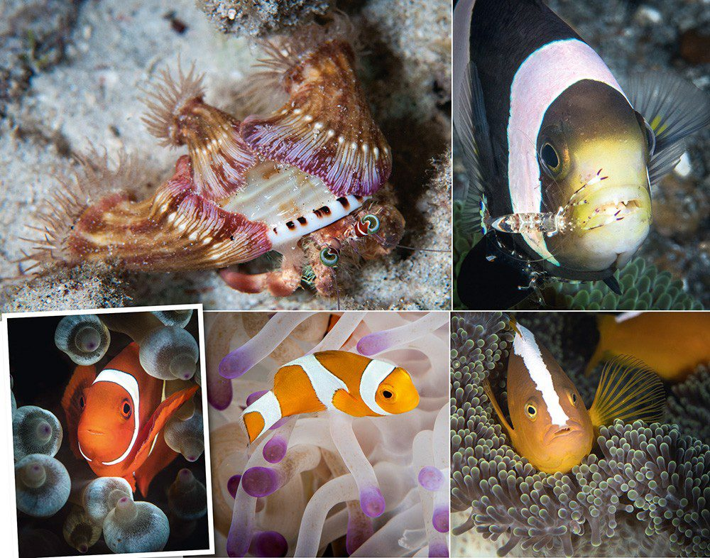 Clockwise, from top left: The jewelled anemone crab places anemones on its shell for protection; a shrimp provides its cleaning services; a spinecheek; and a skunk anemonefish; anemone in the process of bleaching.