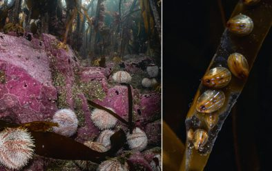 Edible urchins eating kelp; blue-rayed limpets.