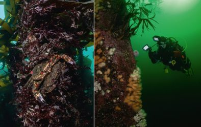 Mating velvet swimming crabs; diver on the wall.