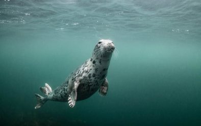 An inquisitive grey seal.