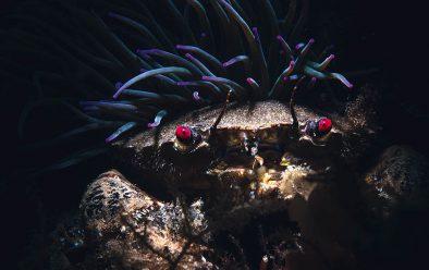 Velvet swimming crab by snakelocks anemone.