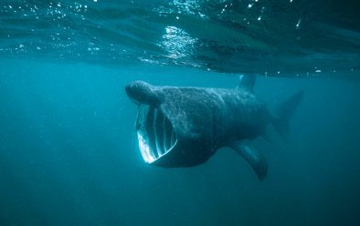 Basking shark at the Isle of Coll.