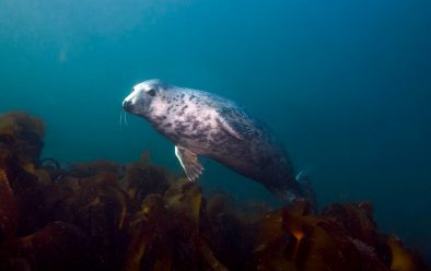Grey seal at the Farne Islands.