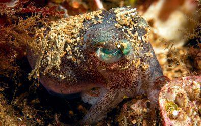 Stout bobtail squid at Loch Carron.