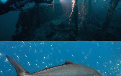 Top: El Naranjito wreck. Above: Greater amberjack at Islas Hormigas.